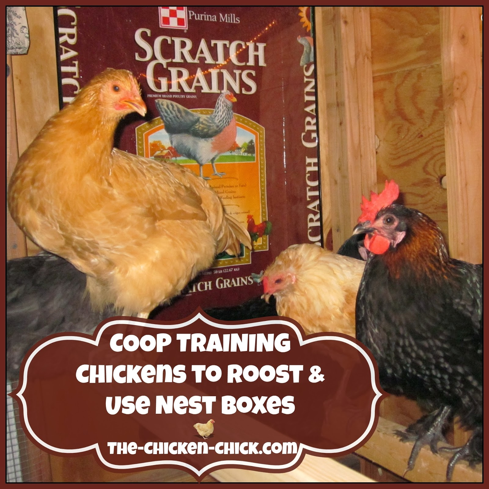 the chicken coop training chickens to roost u0026 use nest boxes