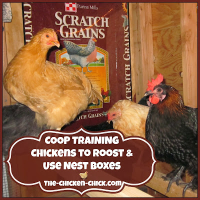 How to train chickens to return to the coop to roost at night and to lay eggs in nest boxes.