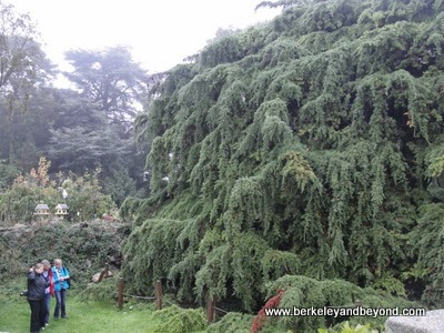 world's largest cypress tree in Wicklow area near Dublin, Ireland