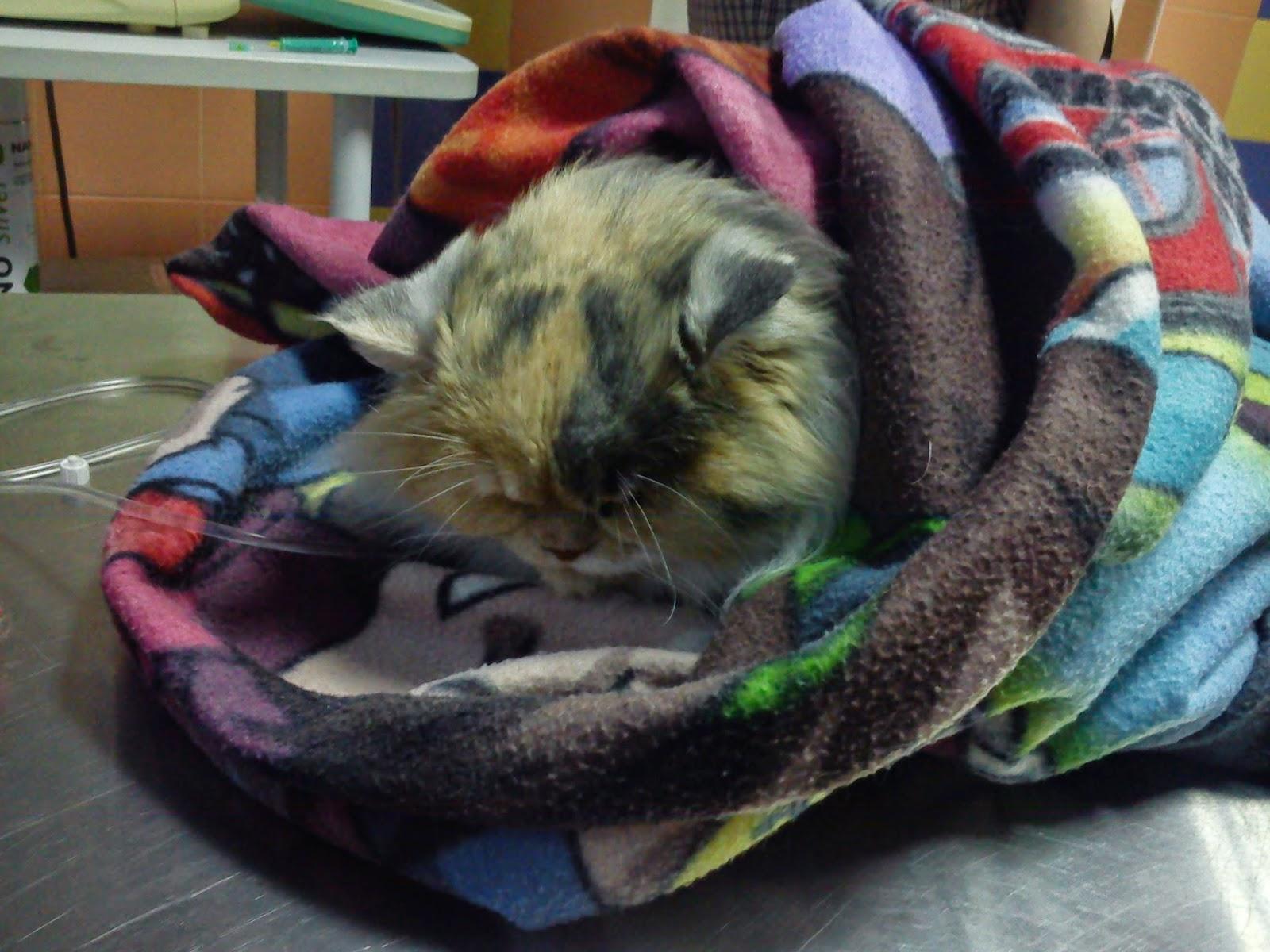 ropomacicze u kotki, sterylizacja kota