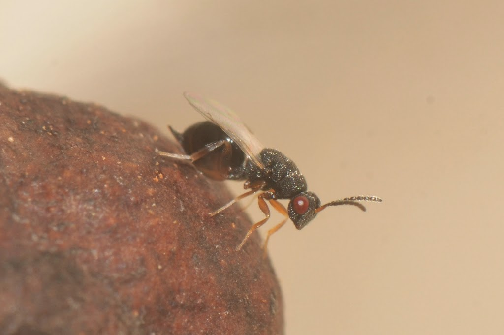 Blueberry Stem Gall Wasp parasitoid