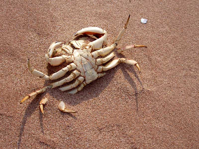 No, this crab is not sun tanning. He is quite dead and I'm okay with that.