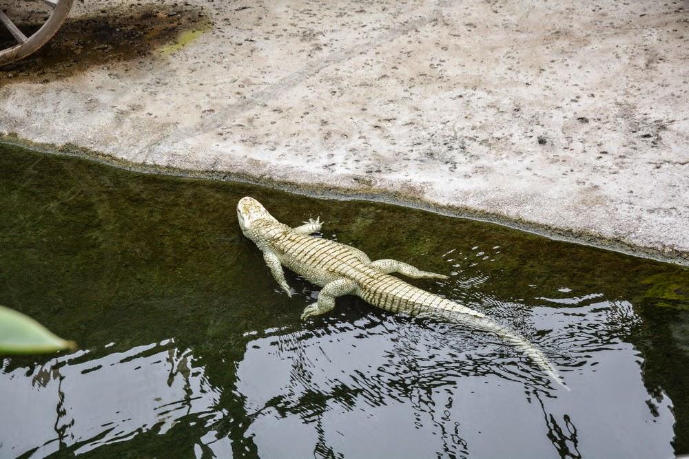 Big crocodile albinos