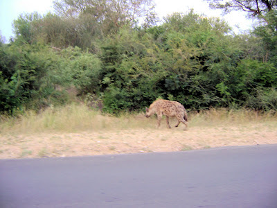 Hiena widziana z samego rana, po wyjechaniu z kempingu Skukuza