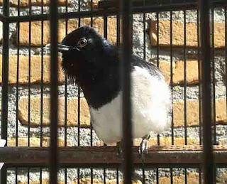 mbagong dan cara menghilangkan kacer mbagong tips merawat burung