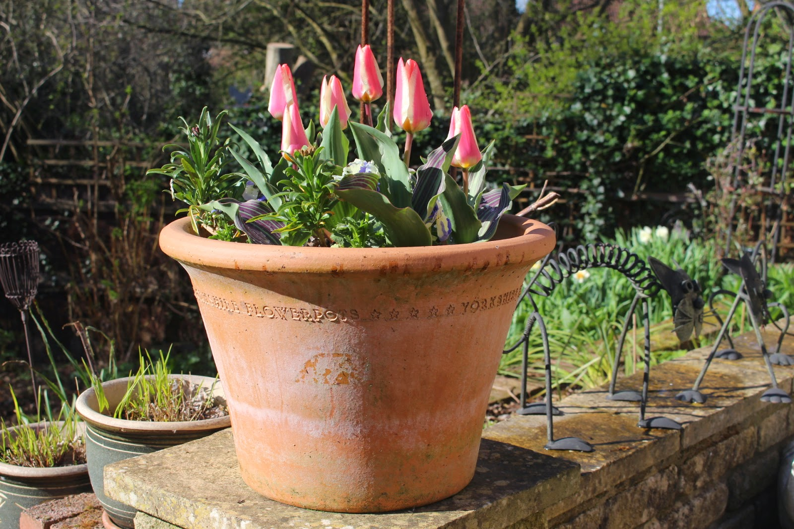 A large pot of 'St George' tulips on our garden wall