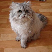 gambar kucing Chinchilla