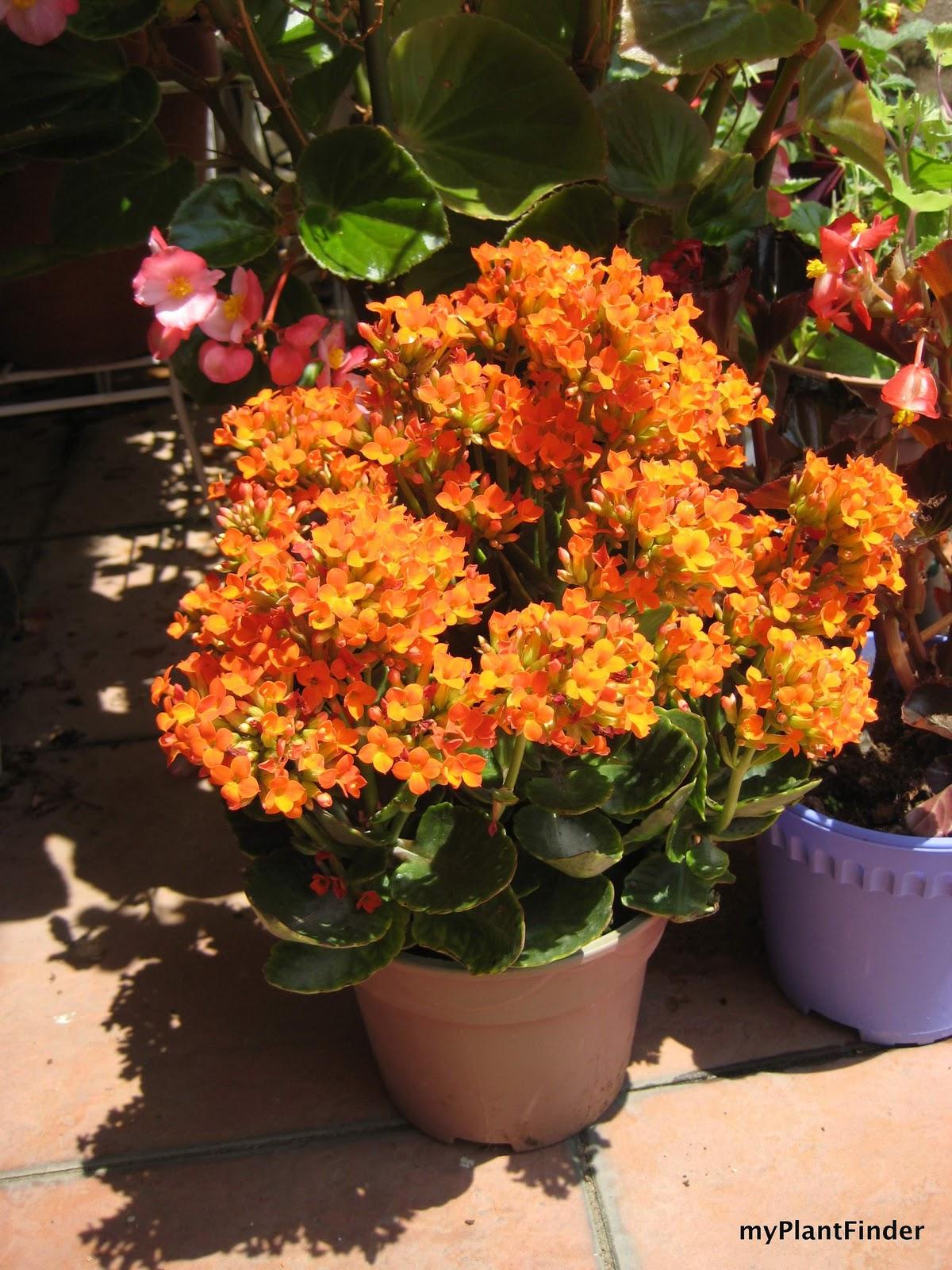 My plant finder plant guide kalanchoe blossfeldiana for Indoor gardening diana yakeley