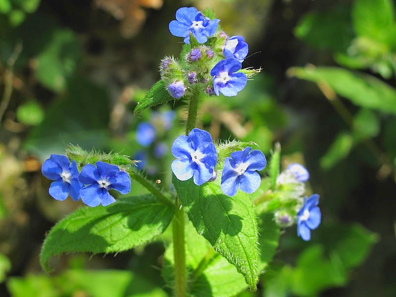 Benefits And Nutrition Of Alkanet Herb For Health