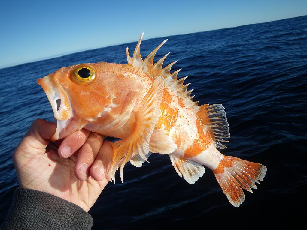 ocean perch fishes ForOcean Perch Fish