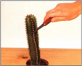 Столбчатые кактусы часто имеют единственный стебель, и ждать, пока появятся отдельные молодые побеги, проблематично