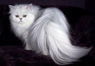 Gambar Kucing Anggora Lucu dan Imut 10001