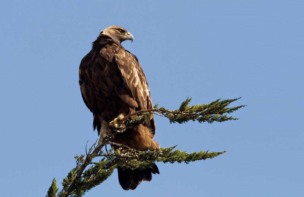 http://climate.audubon.org/birds/goleag/golden-eagle
