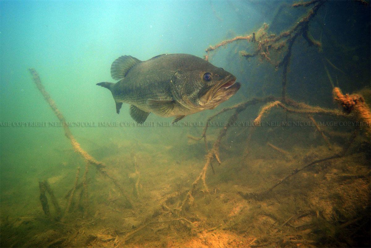 Largemouth Bass Pictures Underwater Largemouth bass amongst treeLargemouth Bass Pictures Underwater