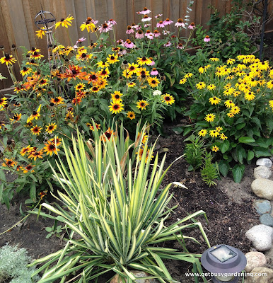 Rudbeckia, purple coneflower, black eyed Susan and variegated Yucca
