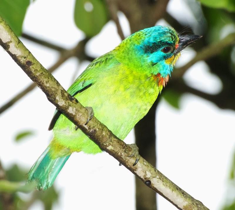 Taiwan Barbet (Megalaima nuchalis)