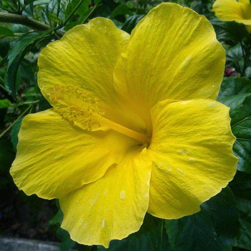Jual bunga sepatu | macam warna bunga sepatu | suplier tanaman | jasa desain taman