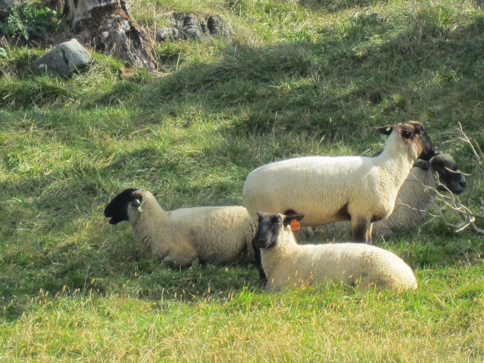 Antietam Sheep / Souvenir Chronicles