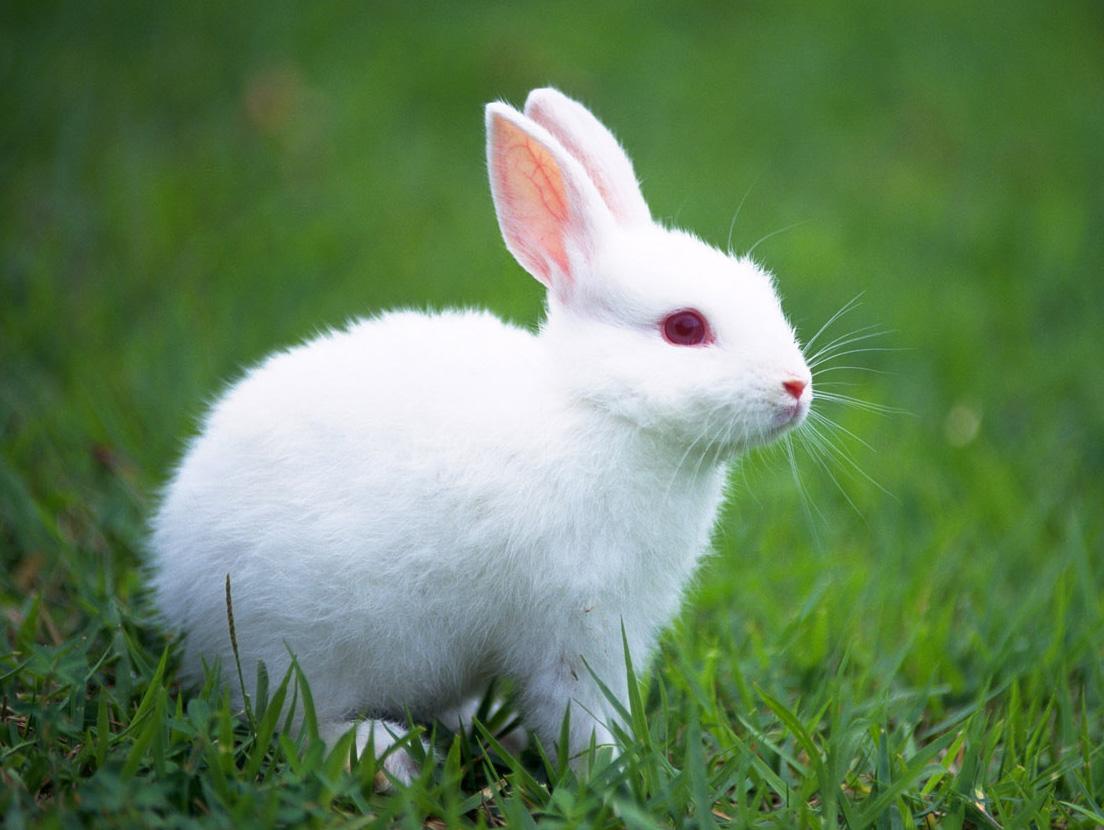 image of white bunny i...