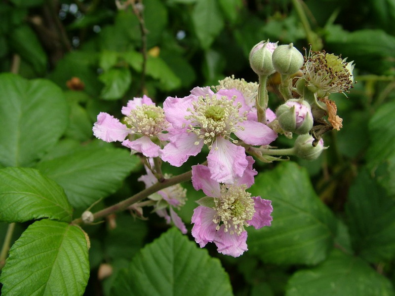 Wild Flowers Kingdom: Bramble