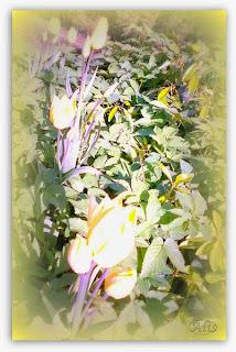 tulipany dla Zosi