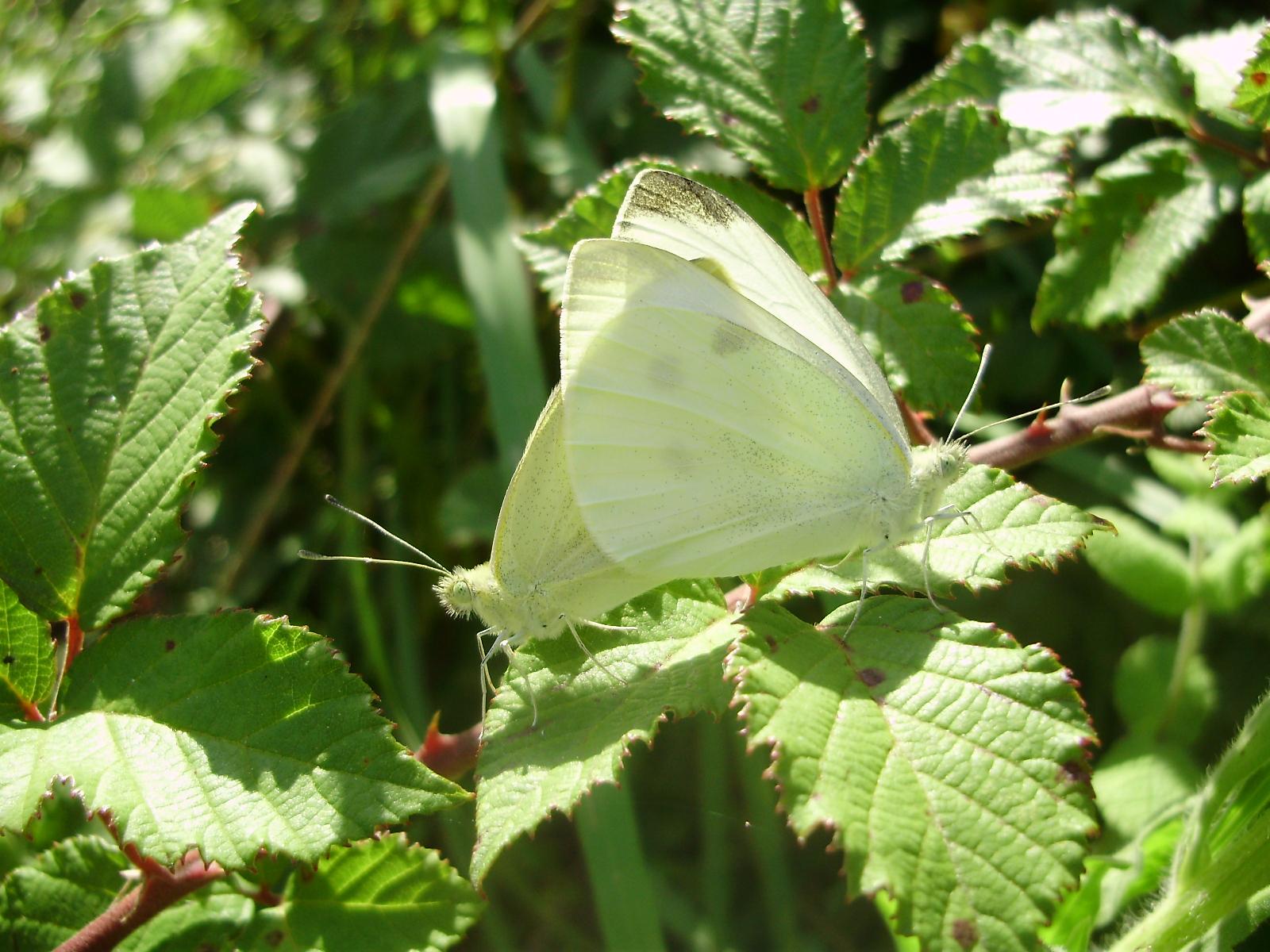 Pareja de mariposas Pieris rapae en copula