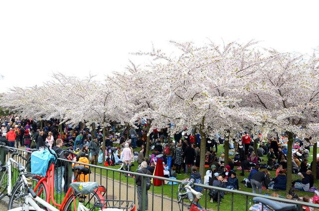 Sakura Festival