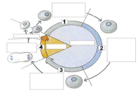 Aprendiendo acerca de la reproduccion celular Actividades