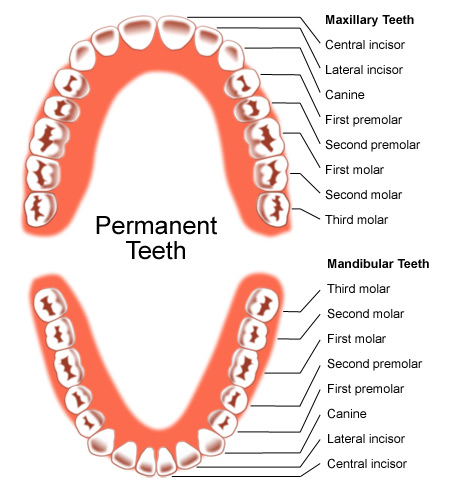 Name of Teeth Diagram http://report-ipa.blogspot.com/2010/10/composition-serrations-tooth.html