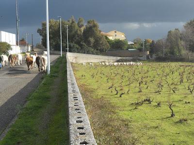 mucche pecore Bolotana