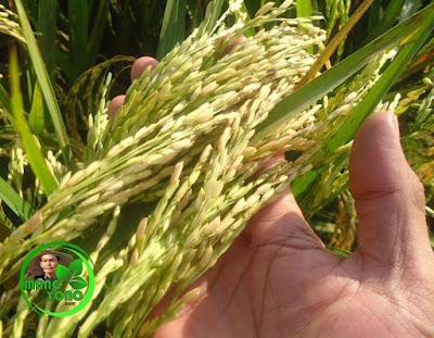 Sistem BAWON Pada Pertanian Padi Di Kecamatan Pagaden Barat, Subang