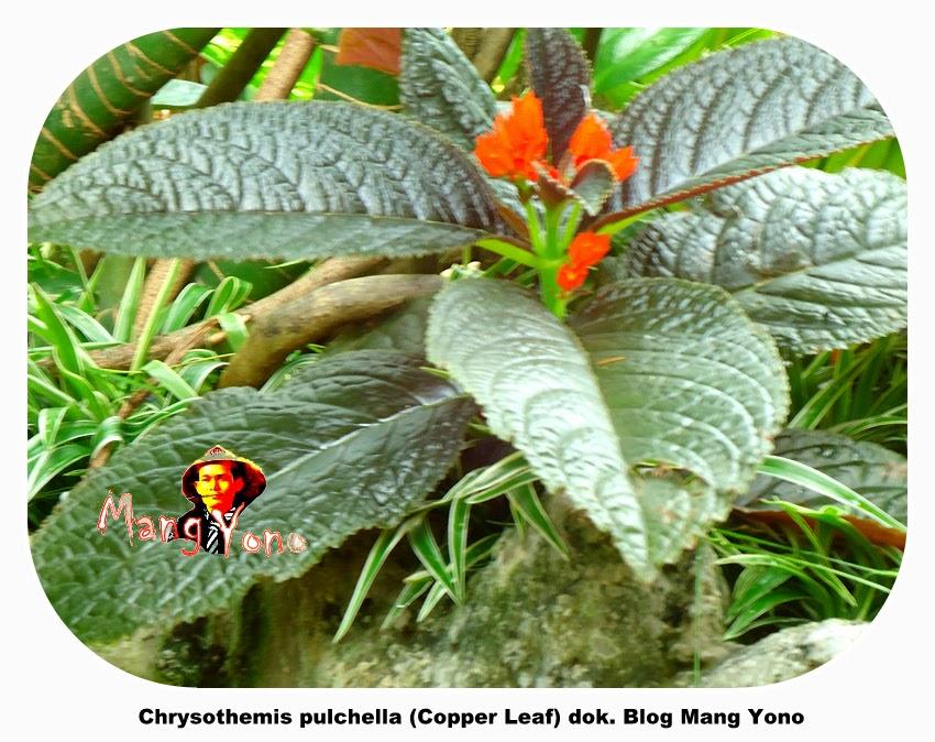 Bunga Chrysothemis pulchella (Copper Leaf) - Blog Mang Yono