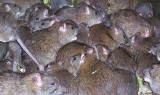 جرذان وفئران mouse