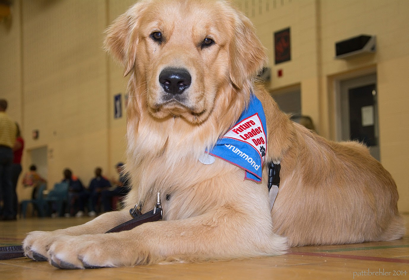 A floor level photo of a grown golden retriever lying on a gym floor. The dog is facing the camera and looking right in the leans. He is wearing a blue Future Leader Dog bandana. There are men in the background out of focus sitting on chairs against the far wall.