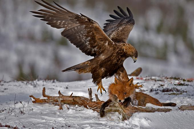 Gold eagle animal - photo#14