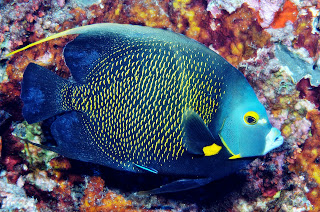 angelfish france