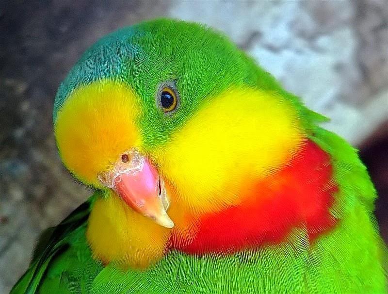 D G Parrott  Superb Parrot ~ Birds ...