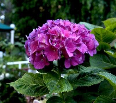 Plantas de hojas perennes hortensias - Cuidados de las hortensias ...