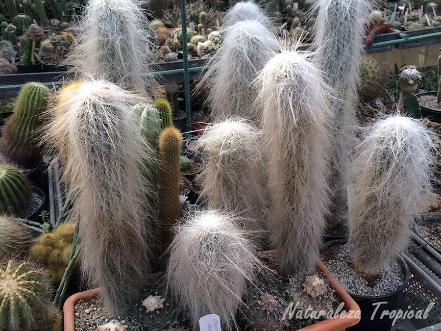 Cephalocereus senilis, el cactus cubierto de pelos