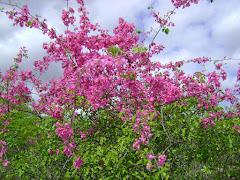 Floração do Mucambinho