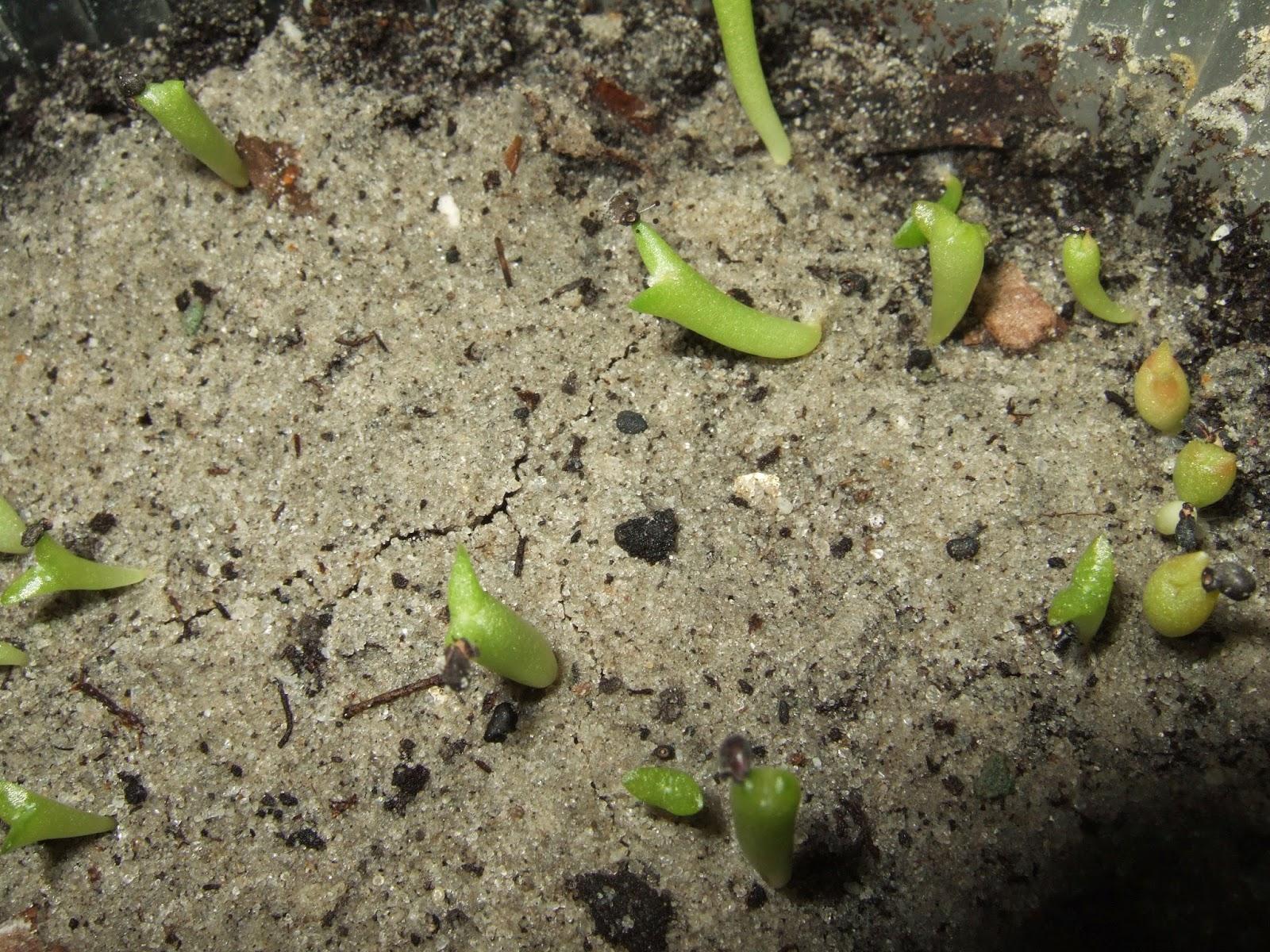 Кактусы из семян выращивание фото