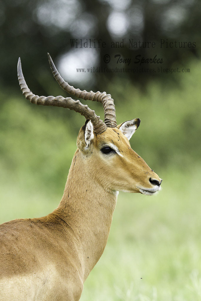 Natures fine specimen - Impala ram, a species which uses the 'lekking' system to find a mate