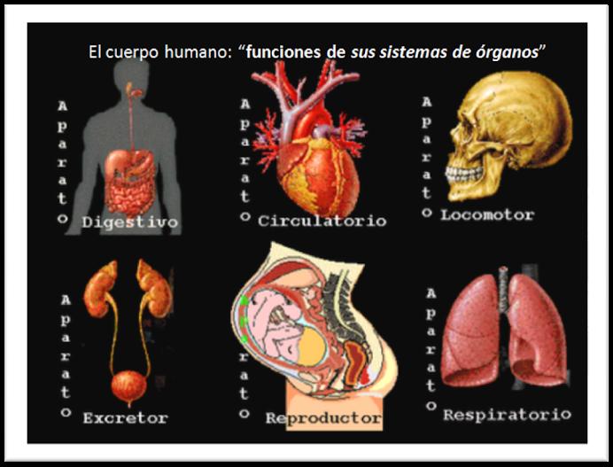 Funciones de sistemas órganos humanos