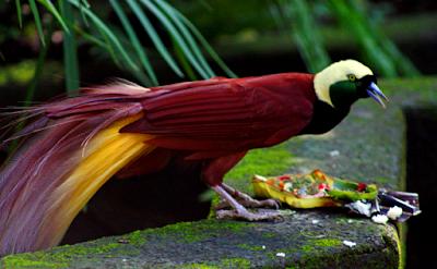 foto burung cendrawasih langka indah