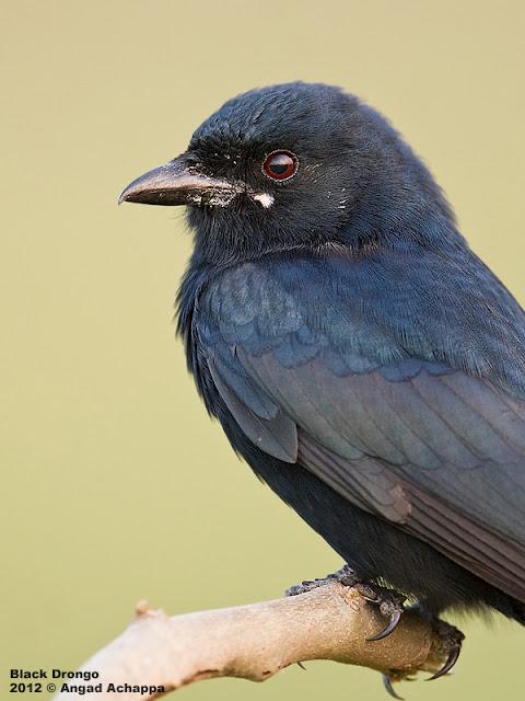 Black Drongo Angad Achappa Bangalore Karnataka Birding bird photography