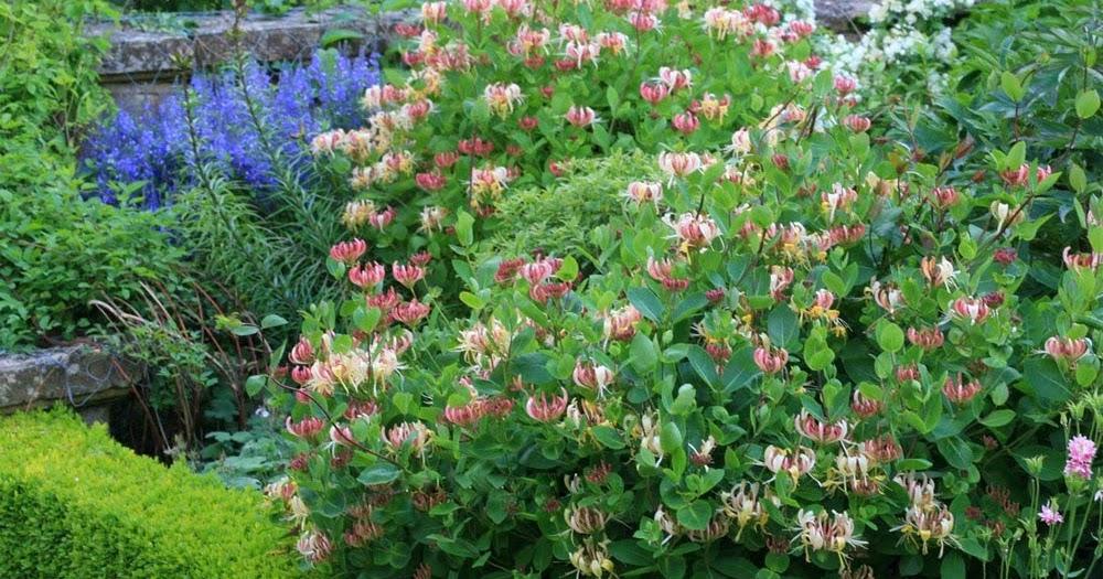 Aut ctonas en el jard n madreselvas para todos los gustos for Arbustos ornamentales de jardin