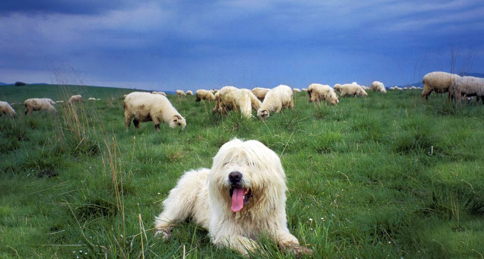 sheepdog guards a flock of sheep in the tatra mountains poland henryk ...