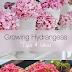 Tips For Growing Hydrangeas #Flowers