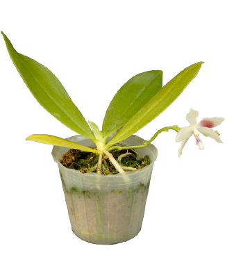 Phalaenopsis Tetraspis [Anggrek species]