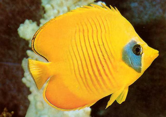 Animales marinos hermosos animales del reino marino for Peces marinos para acuarios pequenos